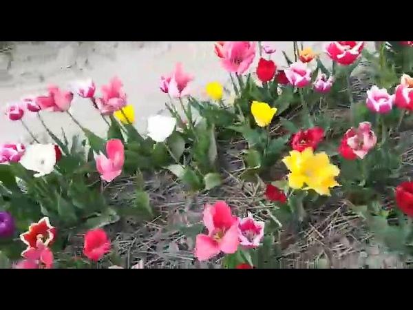 Tulipanes en Holanda, con Virgita Villalobos.