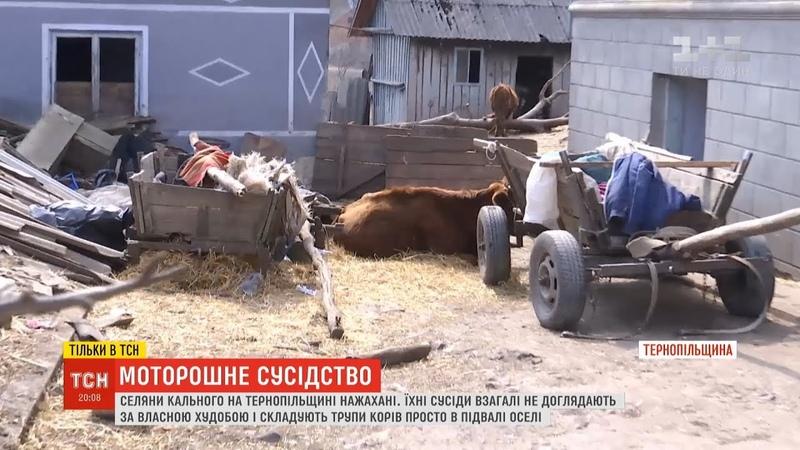 Сім'я на Тернопільщині складає трупи власних корів у підвалі оселі