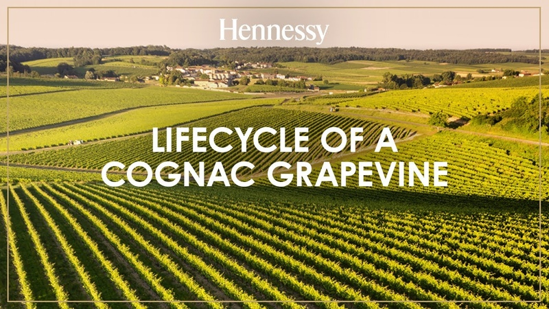 Lifecycle of a cognac grapevine Hennessy