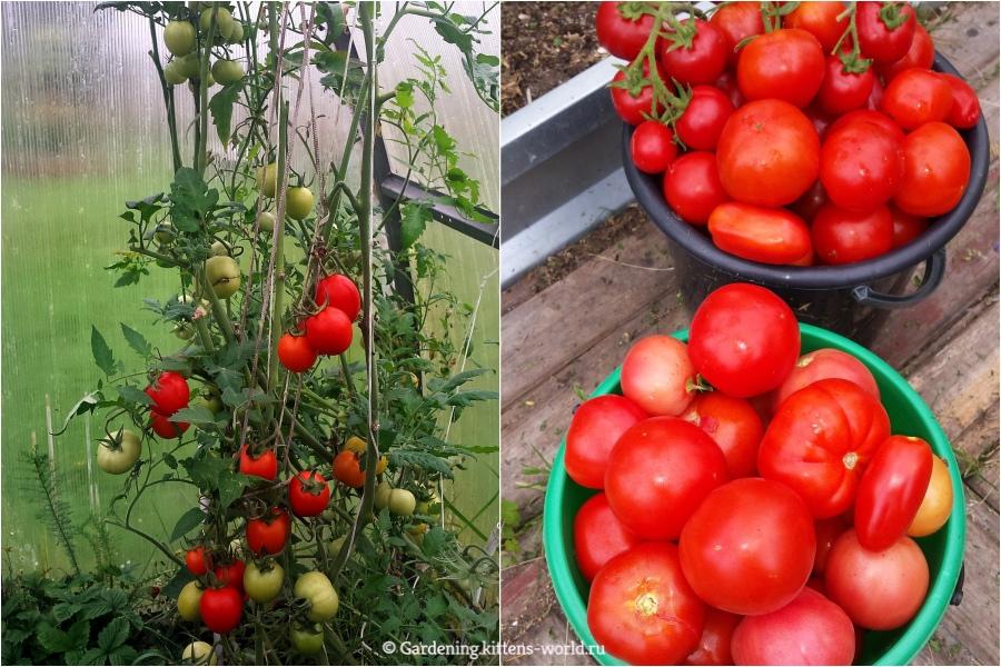 Как вырастить томаты от посева на рассаду до высадки в грунт