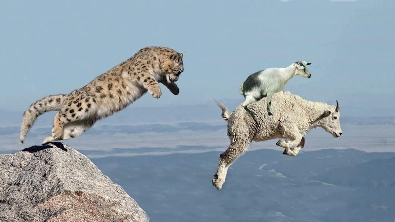 Liệu dê núi có đánh bại được tốc độ thần chưởng Báo núi hay không Cat Action crocodile snake