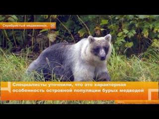 При учете медведей в заповеднике Курильский на острове Кунашир ученые обнаружили бурого мишку необычного окраса