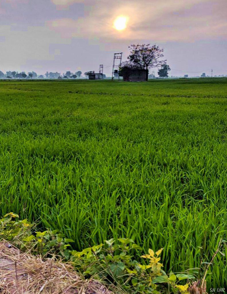 Такая разная Индия - Пшеница подросла