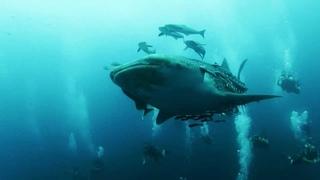 Whale Shark at Chumphon Pinnacle - Koh Tao - Thailand 24/12/12
