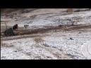 Тибетские мастифы против волков реальный бой Собака VS волк
