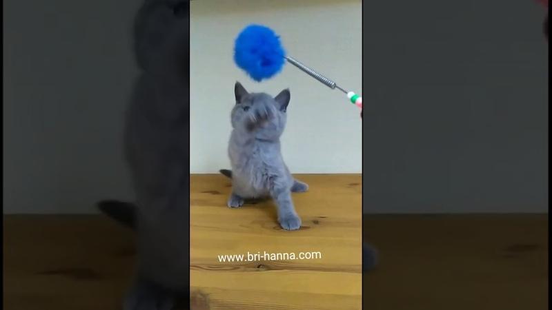 Британский котик Frodo from hanna