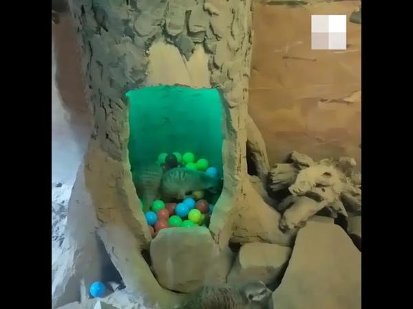 Сурикаты в Лимпопо барахтаются в бассейне с шариками