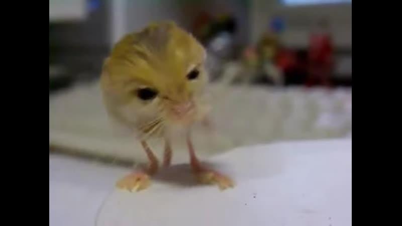 Белуджистанский тушканчик - один из самых маленьких грызунов в мире