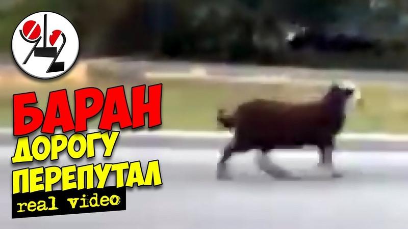 Чёрный баран и кавказец несутся по встречке Real video