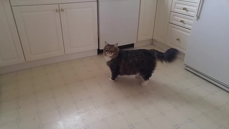 Говорящего кота - не переговорить! Уссури жжет) Сибирский кот ( 1080 X 1920 ).mp4