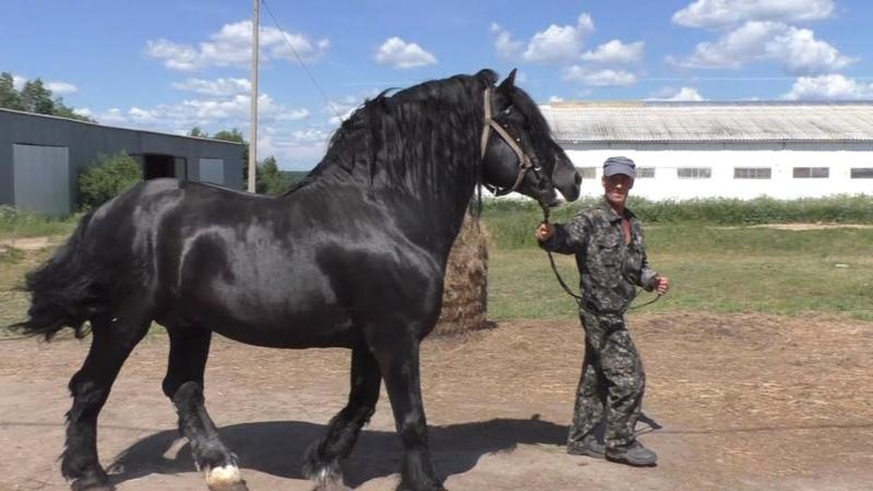 Крутые рысаки и тяжеловозы на Вологодском племенном конном заводе
