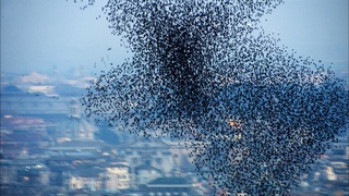 One Million Starlings Swarm (7 Tonnes of Bird Poo) | Superswarm | BBC Earth
