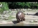 Бегемот срет под дабстеп
