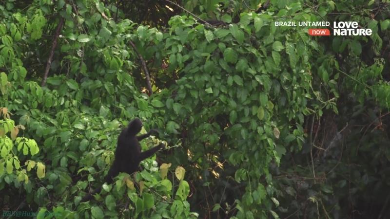 Дикая Бразилия 06 Обезьяны Амазонии Познавательный природа животные 2016