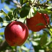 """Яблоня сорт """"Прима"""""""