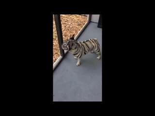 Тигрик Помесь собаки и карликового тигра