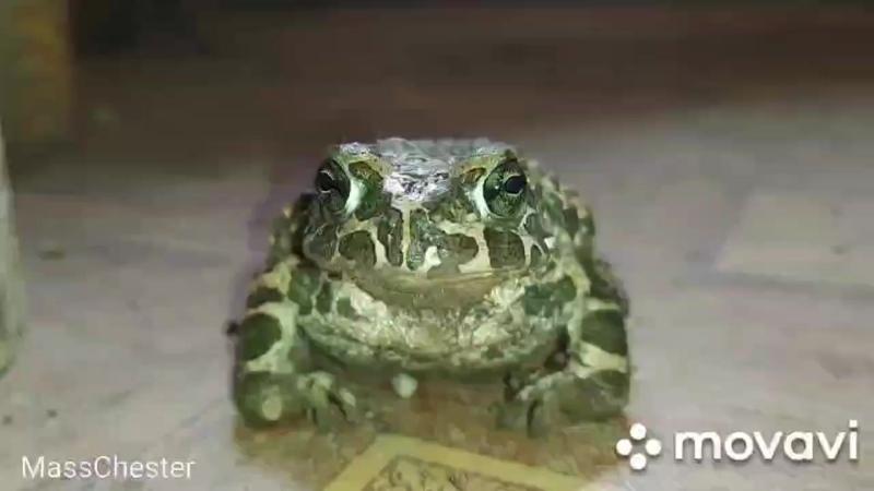 Портативный дворовый Дракон лягуха frog toad dragon funnyanimals