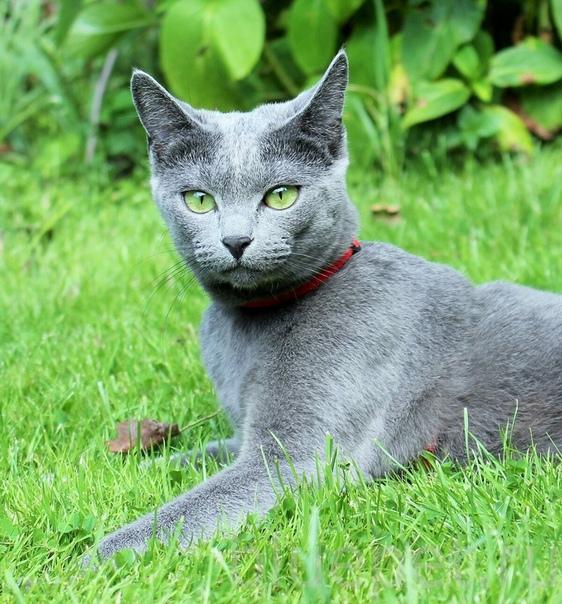 russian blue cat - HD1786×1920