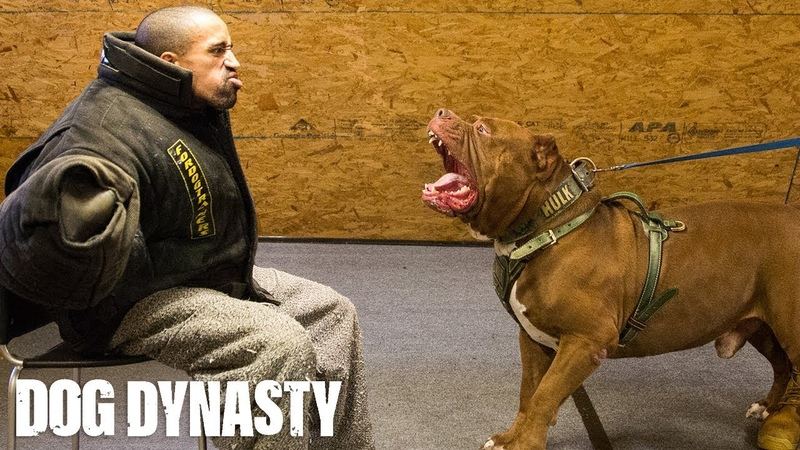Getting Smashed By Hulk The World's Biggest Pitbull DOG DYNASTY