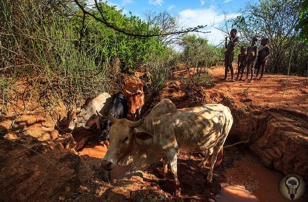 ДОБРО ПОЖАЛОВАТЬ К ХАМЕР. Ч.-2 1. Помимо разведения скота хамер возделывают небольшие поля, на которых выращивают маис и сорго 2. Дети и коровье стадо 3. Приготовление козленка 4. Мужчина с