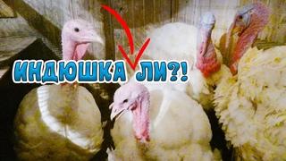 Могут ли ИНДЮШКИ Дуться как ИНДЮКИ?! я в шоке))))