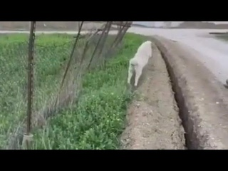 Sheep Gets Stuck And Jumps Back In Ditch