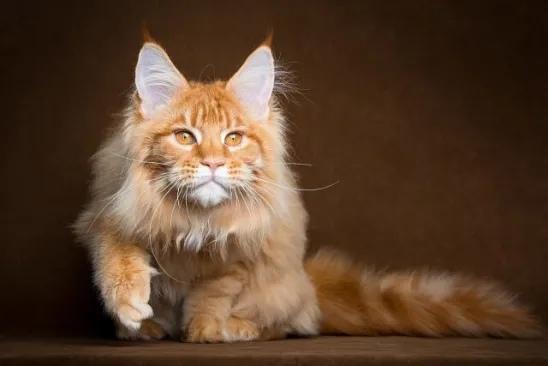 ШЕРИФ Я недавно обзавелся котом, мейн-куном. Здоровым таким котом с кисточками на ушах, прирождённым охотником. Рыжий кот, серьёзный, Шерифом я его назвал. Живу я в частном доме, в достаточно