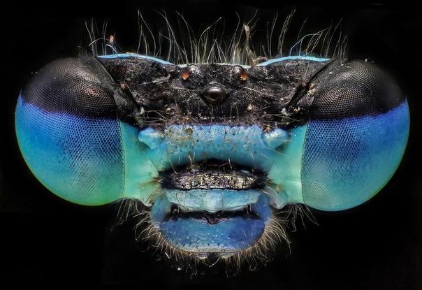 Стрелка голубая, или меняшка кубоносная, или синестрелка кубоносная, или эналлагма голубая,  вид равнокрылых стрекоз из семейства стрелок