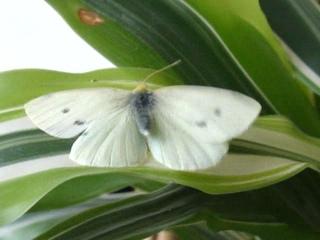 бабочка зимой: ожила после падения в снег! чудо... Москва, , Moscow, butterfly in winter