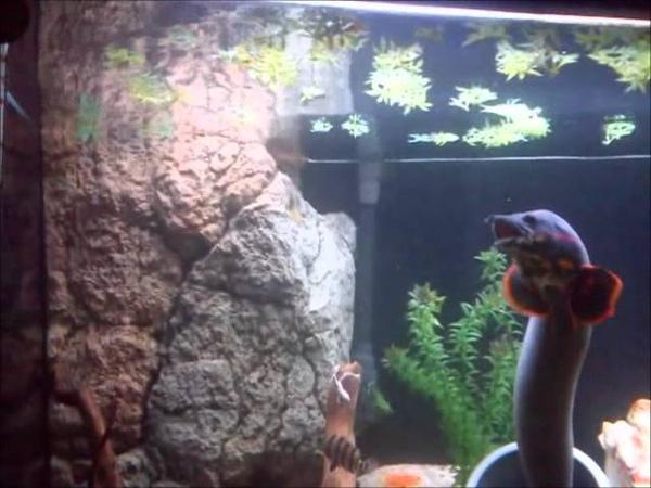 70 centimeters fire eel hand feeding