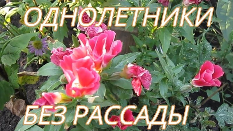 Красивые Неприхотливые Цветы семенами БЕЗ РАССАДЫ 1