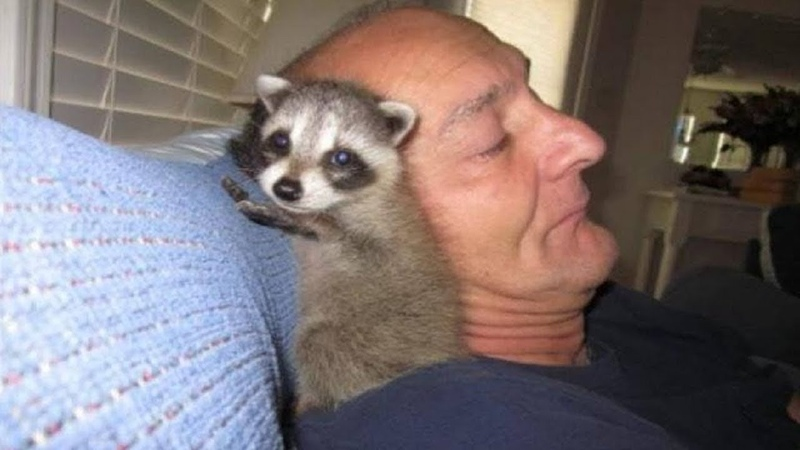 Man saved baby raccoon nursed him back to health and let him go But something went wrong